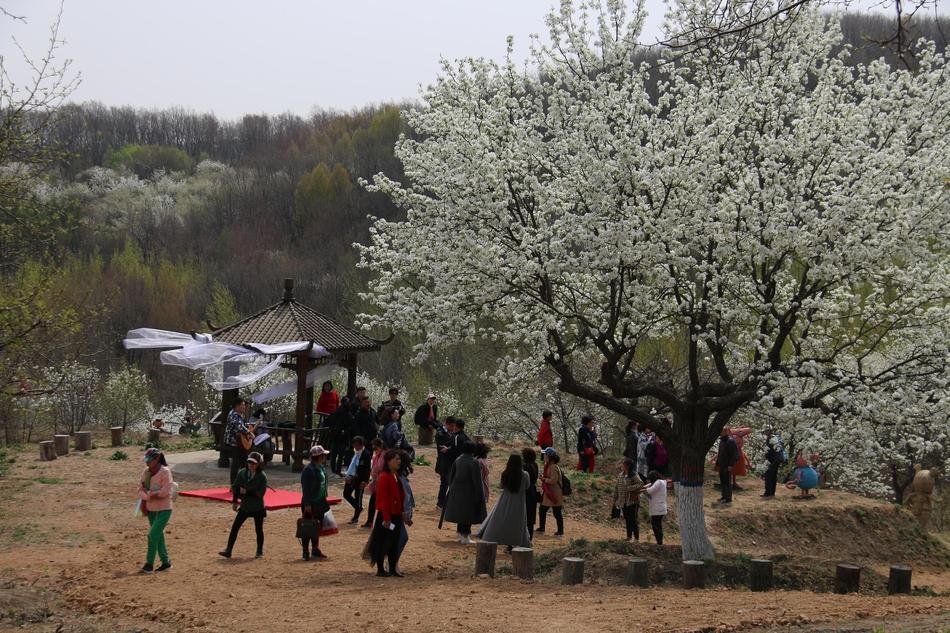 百年梨树复春来 十里繁花竞盛开