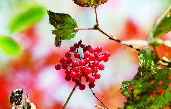 红果亮晶晶