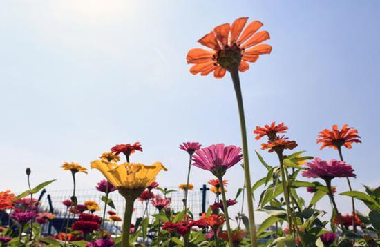 9月4日,长春市莲花山生态旅游度假区花田里鲜花绽放。