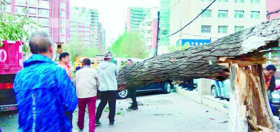永寿街附近树被风刮倒,砸中两辆车 本组图片 读者供图