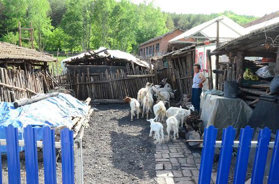 村民家中的饲养的羊群