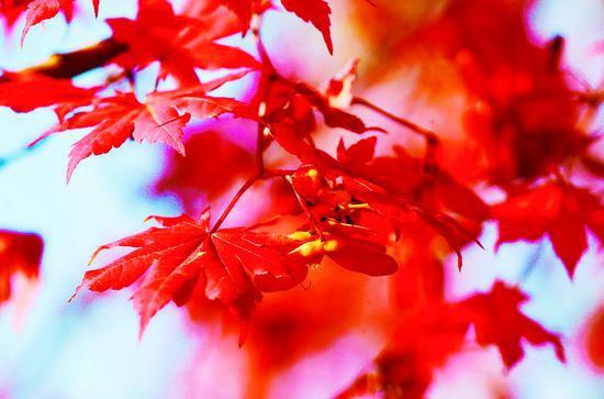 红叶红艳艳
