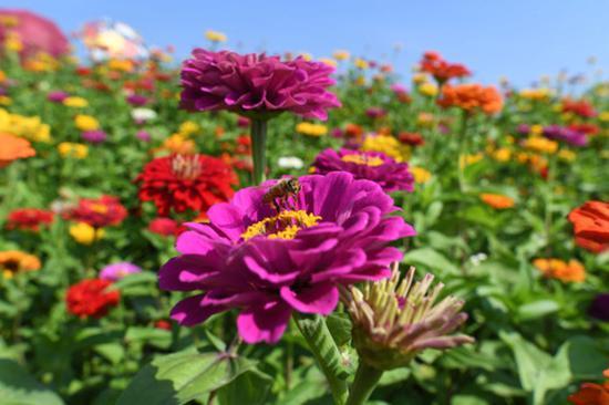9月4日,在长春市莲花山生态旅游度假区花田,蜜蜂在花间采蜜。