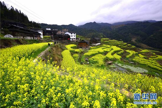图为广西龙胜各族自治县平等镇平等村松树坳组村寨的油菜花田。