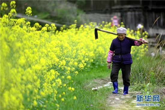 在广西龙胜各族自治县平等镇平等村松树坳组,一位老奶奶从花田旁走过。