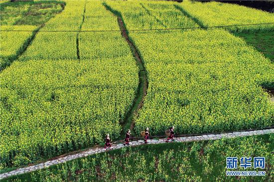 无人机航拍村民经过广西龙胜各族自治县乐江镇地灵村的油菜花田。