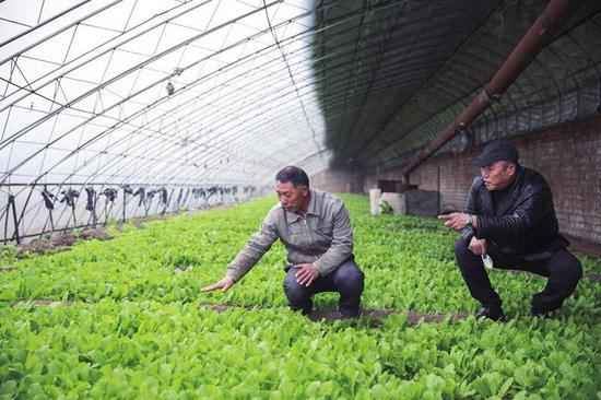 龙潭区棋盘集团蔬菜大棚技术人员查看小白菜长势。