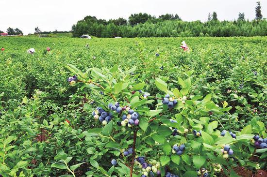 临江市六道沟镇宝山村蓝莓喜获丰收。