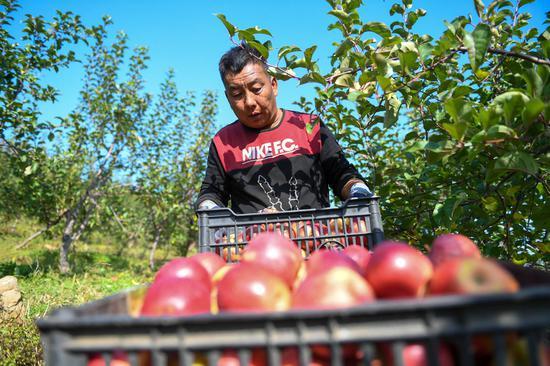 10月8日,果农在吉林省永吉县西阳镇马鞍山村的果园内搬运苹果。