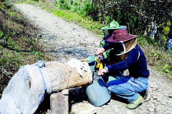 今年,中国本土蜂种──中华蜂迎来采蜜丰年,进入10月,蜂蜜进入采收季,这是通化县果松镇东明村蜂农王金贵、栾金芝夫妇采收自家的中华蜂蜜。记者宋晓林摄