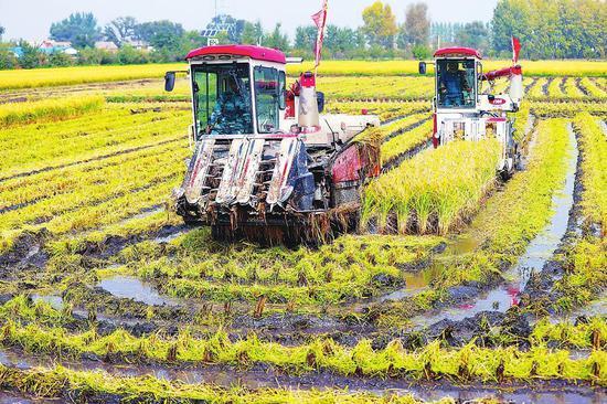 收割机在稻田作业,拉开秋收序幕。