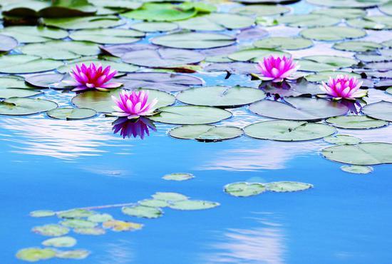 白的纯净,粉的妩媚,每一朵睡莲都绽放着各自独特的美,等着你循香而来。