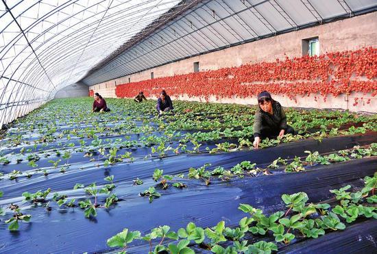 位于白山市江源区石人镇榆木桥子村的巾帼丰种植专业合作社发展日光温室,以租赁分红的形式带动30个贫困户49人增收。