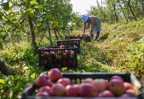 10月8日,果农在吉林省永吉县西阳镇马鞍山村的果园内采摘苹果。