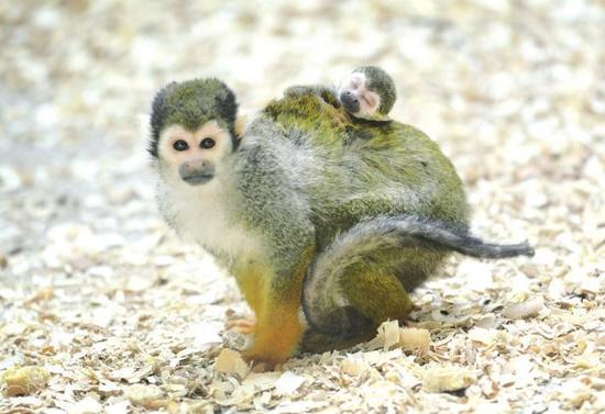 长春动植物公园松鼠猴