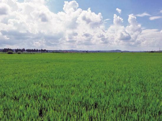 入夏以来降水持续偏少,辉南县辉发城镇采取有效措施,制订灌溉用水计划,合理调配水源,并指导农民科学用水推行灌溉用水精细化管理,维护田间工程设施,确保农田灌溉。同时,还指导农户开展二代粘虫防治和田间管理,为夺取今年农业丰收奠定了坚实基础。图为长势良好的水稻进入抽穗扬花期。 韩明泽 王兰 摄