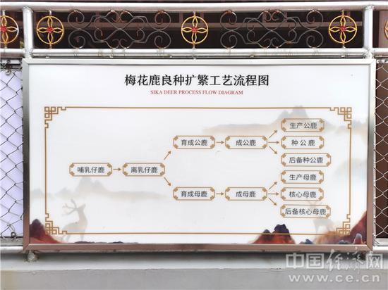 梅花鹿良种扩繁工艺流程图。经济日报-中国经济网记者宋雅静/摄