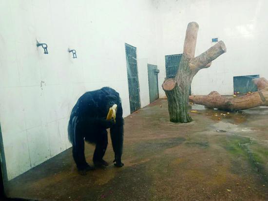 黑猩猩吃香蕉