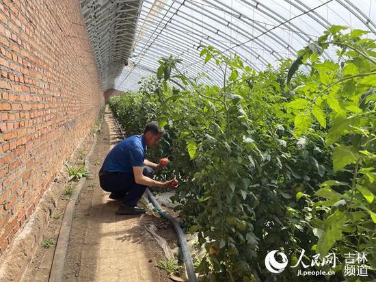 技术员于畔海正在查看番茄长势(人民网李思玥 摄)