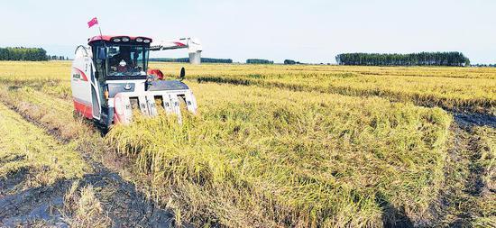 金风送爽五谷香,平畴沃野遍地黄。连日来,我省广大农民忙碌在田间地头,收获着一年的劳动成果。这是四平辽河农垦管理区大林子种植农民专业合作社在机收水稻。 常中敏 记者钱文波摄