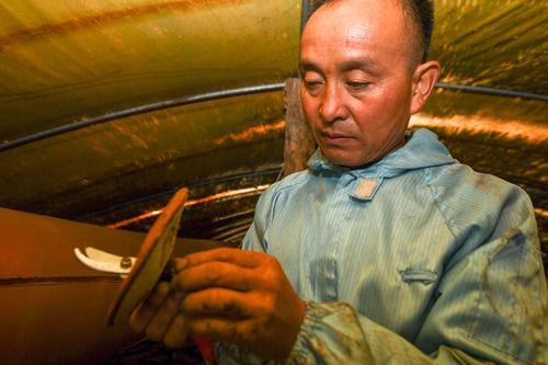 9月25日,在吉林省白山市靖宇县大北山村,高秀虎整理灵芝孢子粉收集袋。新华社记者 张楠 摄