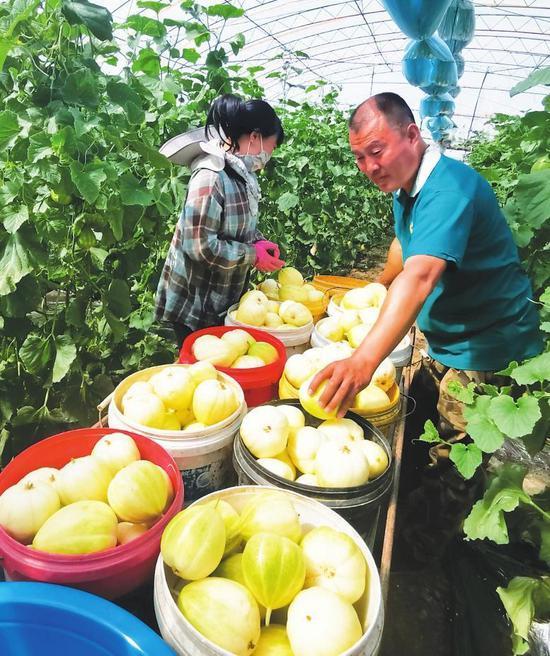 梨树县根植黑土地,在特色上下功夫,引领农民种植芹菜、大头菜、香瓜、棚膜蔬菜等,力争在有限的土地上产出更大的效益。这是高家村村民在采摘香瓜。