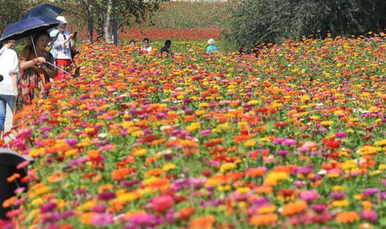 9月4日,游客在长春市莲花山生态旅游度假区花田里赏花。