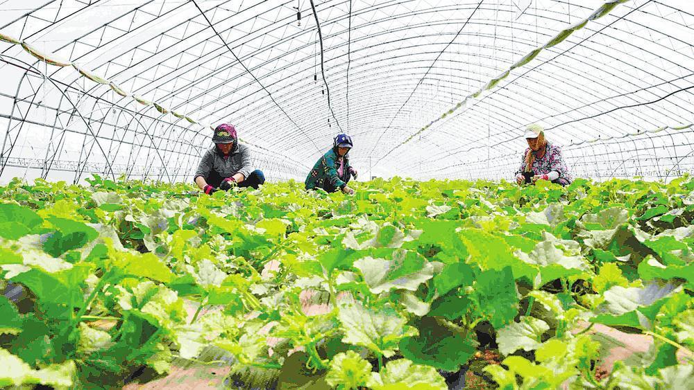 舒兰市白旗镇将香瓜种植列为全镇主导产业,大力打造白旗香瓜品牌,有效助力农民致富增收。