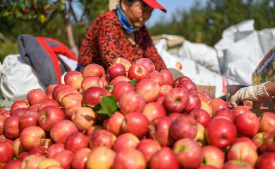10月8日,果农在吉林省永吉县西阳镇马鞍山村的果园内分拣苹果。