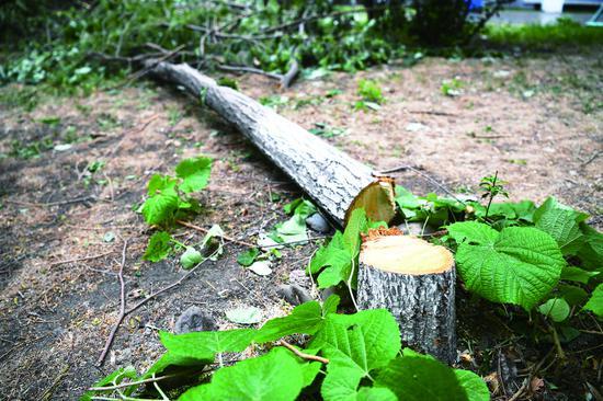 小树被拦根砍断。石天蛟 摄