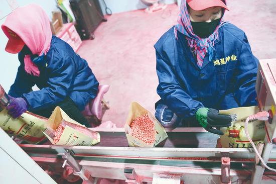 鸿基农业集团是集农作物种子科研、繁育、生产、销售,绿色食品开发、推广于一体的大型农业集团公司,是长春市农业产业化龙头企业之一。图为工人在车间加工种子。 石天蛟 摄