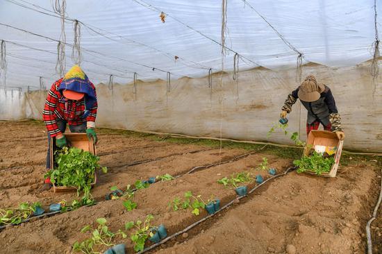 3月19日,在梨树县梨树镇高家村,农民在栽种香瓜。