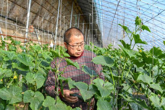 3月19日,在梨树县盛园蔬菜种植养殖专业合作社,农民在查看黄瓜长势。