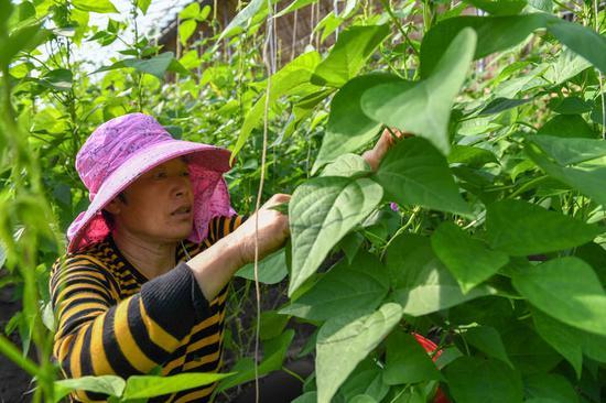 3月19日,在梨树县盛园蔬菜种植养殖专业合作社,农民在修剪豆角秧。