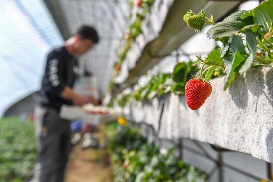 3月18日,在梨树县六之维农民种植专业合作社,农民在采摘草莓。