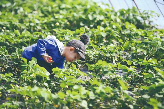 小朋友在采摘草莓。