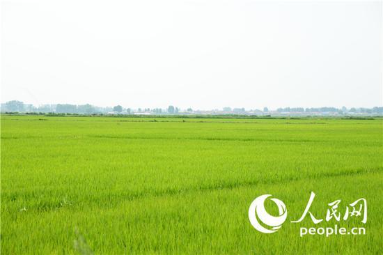 吉林省榆树市绿色高品质稻示范区。 (人民网李洋摄)(资料图片)