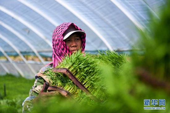 5月17日,镇赉县大屯镇的农民在水稻育苗大棚内搬运秧苗。
