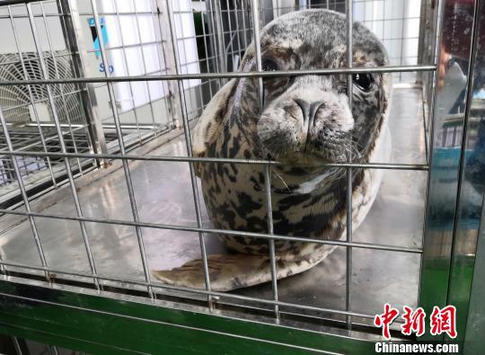 图为即将放生的斑海豹。 智曼卿 摄