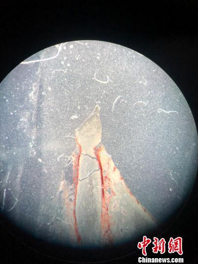 显微镜下的长春龙齿骨切片 张瑶 摄