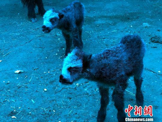 图为黑白相间的双胞胎牦牛的出生被当地牧民群众看为近年畜牧产业丰收的好兆头而备受推崇。 钟欣 摄