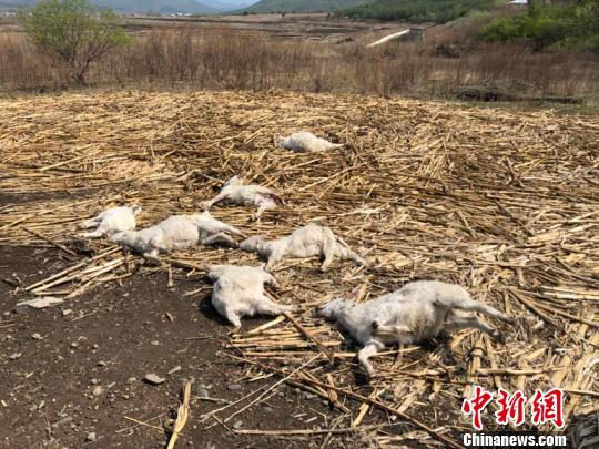 这些山羊致死部位位于颈部,被吃部位是臀部。东北虎豹国家公园管理局供图