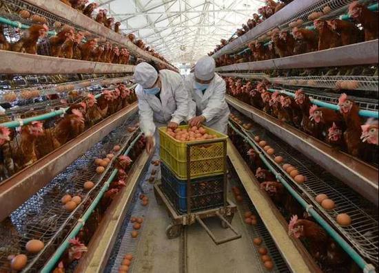 养殖场里工人在分捡鸡蛋