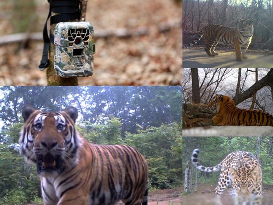 保护区内红外相机镜头下的东北虎豹过着怎样的生活?