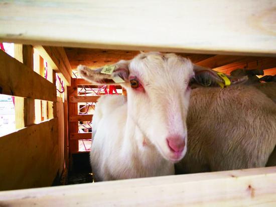 图为萨能奶山羊。 长春海关供图