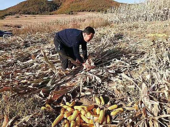姜蕾在地里帮助村民收获玉米。