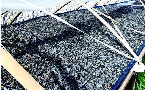 金秋时节,榆树市大岭镇林泊木耳食用菌业基地的黑木耳喜获丰收。黑木耳栽培已成为大岭镇特色农业的一大亮点,产品远销东南亚,让农民多了一条致富路。 贾春文 白振波 摄