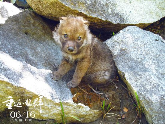 小狼格林真正的自由,李微漪带着它重返草原,一步步重拾野性,回归狼群.图片