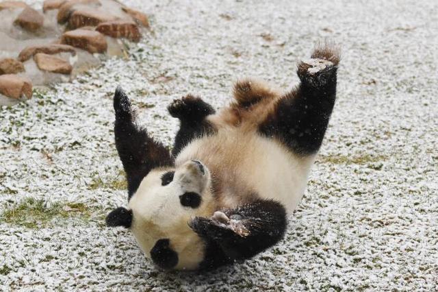 长春迎首场降雪 大熊猫雪地撒欢