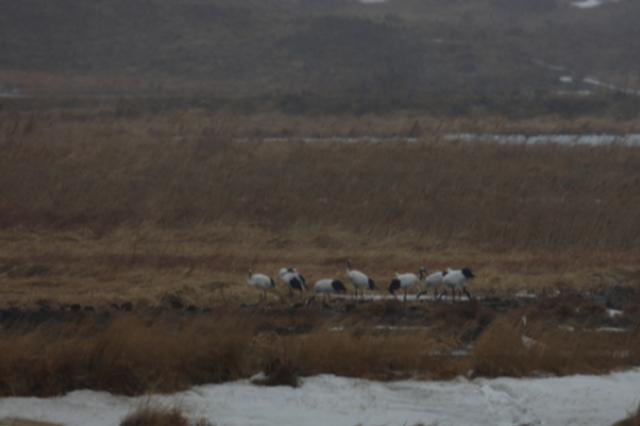 冰雪未消鹤归来 吉林珲春敬信湿地迎30多只丹顶鹤
